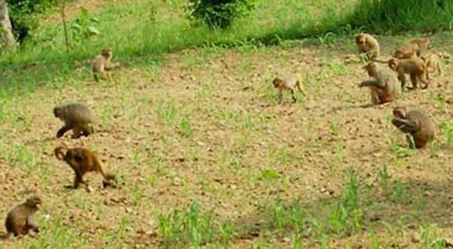 कञ्चनपुरमा जंगली जनावरकाे अतंकले किसान चिन्तामा
