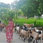 देवहरिया गाँवकि महिला व्यवसायिक बकरीया पालन घेन