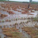 बर्षातले अन्न नष्ट किसान महासंकटमा